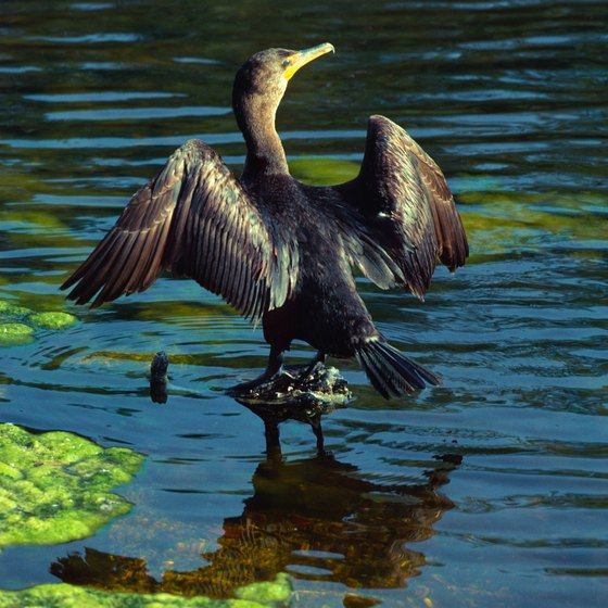 Florida is home to lake-dwelling cormorant birds.