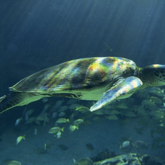 "Tortuga means ""turtle"" in Spanish, and the Dry Tortugas once had large populations of sea turtles."
