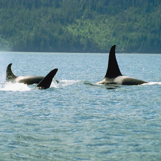 Whale watching charter cruises are popular activities during vacations in Western Washington.