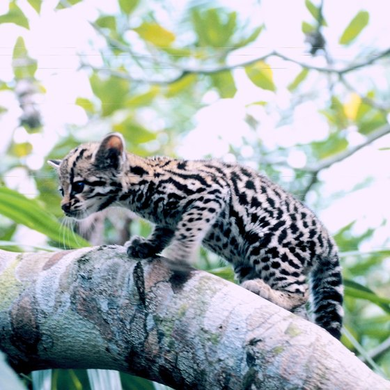 The Bergen County Zoological Park works to preserve ocelots and other New World species.