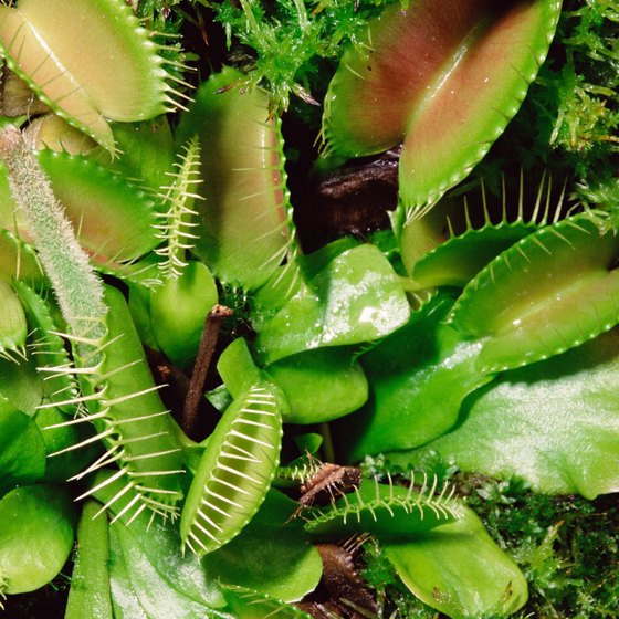 The Venus flytrap grows in East Texas.