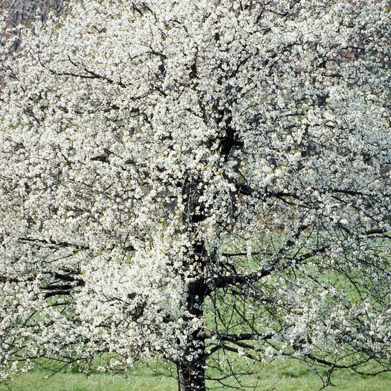 The American Dogwood is the state flower of Virginia.