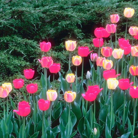 The Tulip Time Festival celebrates the beauty of the tulip.