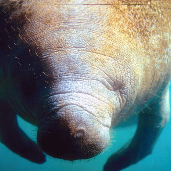 Manatees inhabit the waters of Fort Pierce.