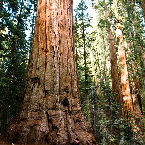 Gigantic sequoia trees are a must-see when visiting the Sierra Nevada Mountains.