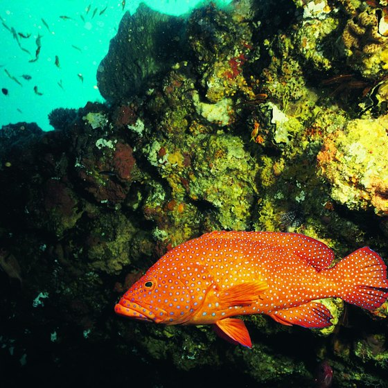 Numerous tropical fish live along reefs in the Indian Ocean.