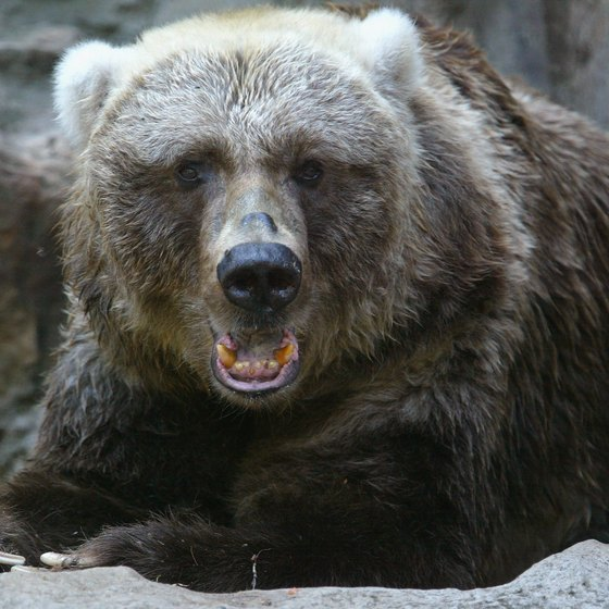 Kodiak brown bears attract many visitors to the island each year.