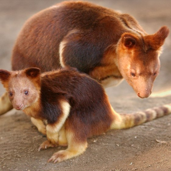 This baby tree kangaroo emerged from mom's pouch at San Diego Zoo in 2003.