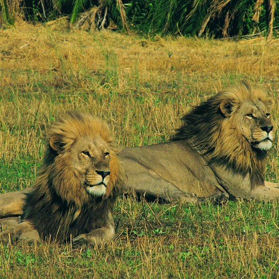 Lions are among the large mammals that make up the Okavango Delta's seasonal mosaic.