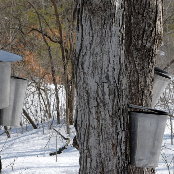 Buckets are used to collect sap that will later be maple syrup.