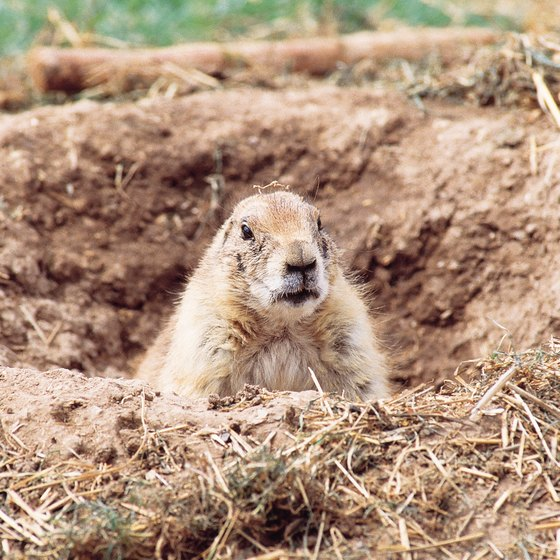 Tourists can see the blacktail prairie dog at the Arizona-Sonora Desert Museum.