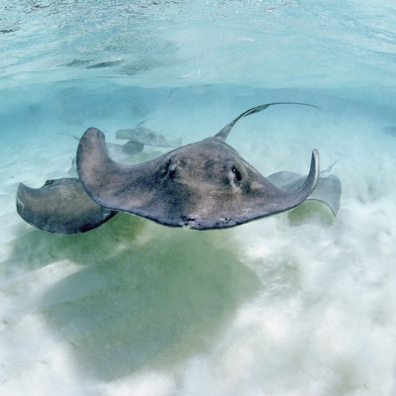 Water lovers may opt for swimming with stingrays while in Grand Cayman.
