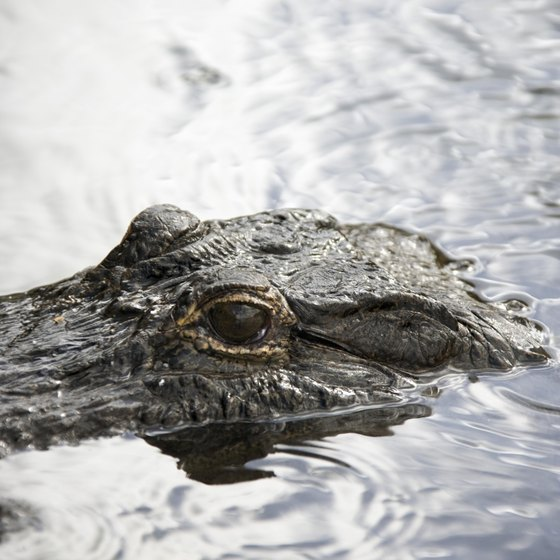 See alligators at the Newport Aquarium.