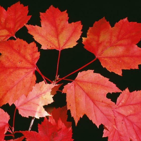 Red maples are among native trees in Texas putting on spectacular fall shows.