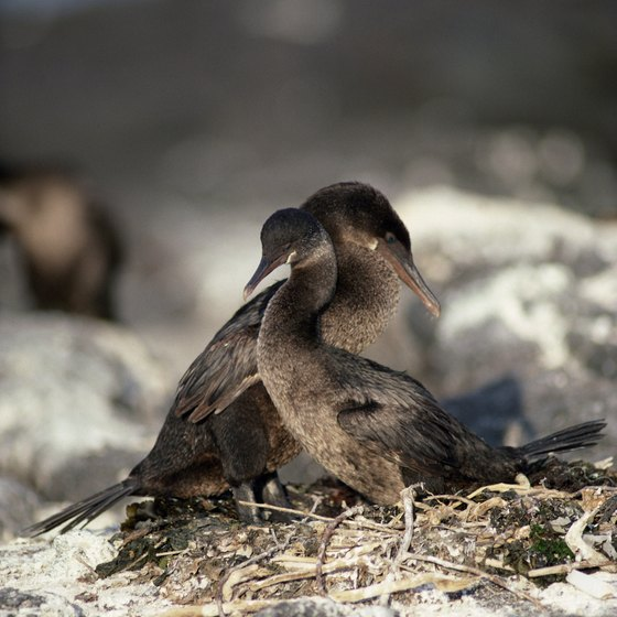 Flightless cormorants live in the Galapagos Islands.