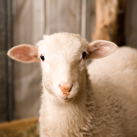 Scio, Oregon's Lamb and Wool Fair celebrates all things sheep.