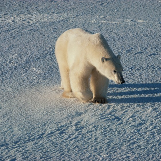 A polar bear crosses the tundra.
