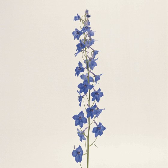 Delphinium number among the few plant species native to Poland.