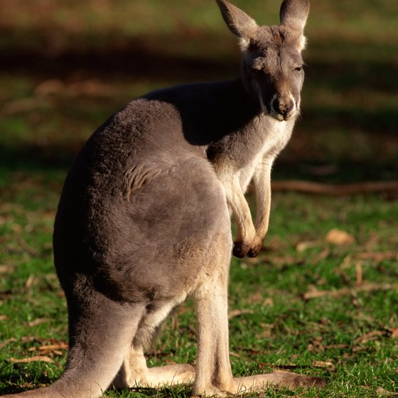 Take an Australian wildlife tour to see kangaroos and other animals up close.