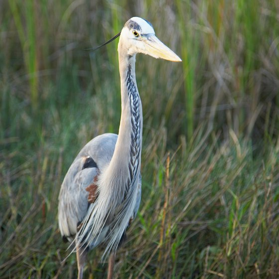 Look for great blue herons near waterways in Florida.