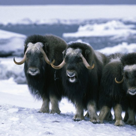 Tour any one of three Alaska facilities where you can see musk oxen.