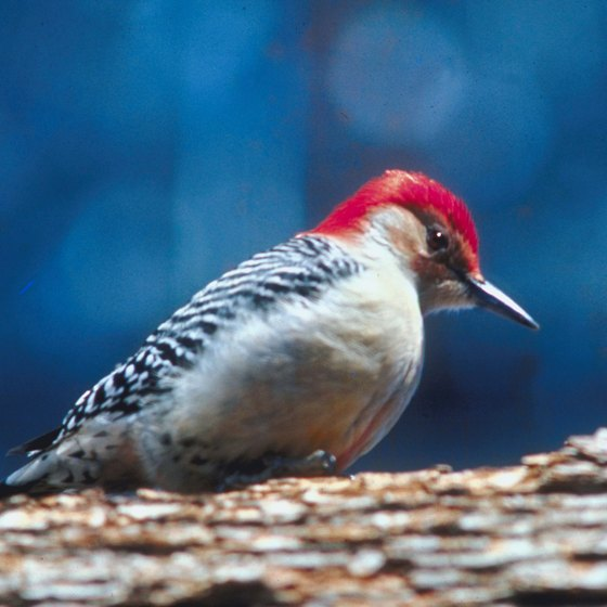Woodpeckers: one of 250 bird species seen around Devils Kitchen Lake.