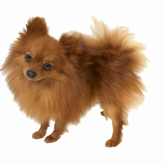 Prepare your Pomeranian by taking a long walk before leaving on your trip.