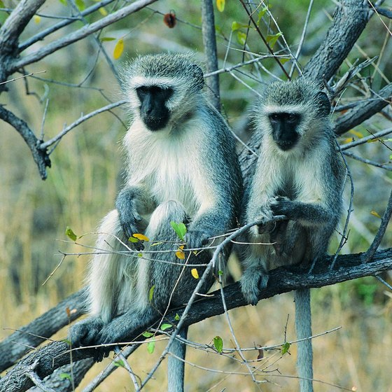 You can view animals at close range on a walking tour in Kruger National Park.