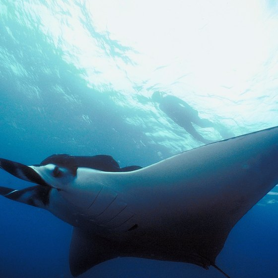 Manta rays and more await divers in the Republic of Kiribati.