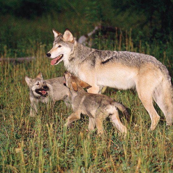 Wolf sightings are common in Yellowstone's Lamar Valley.