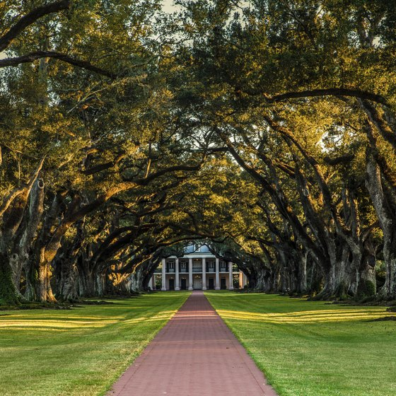 The oak trees that line the pathway to the Oak Valley Plantation are more than 300 years old.
