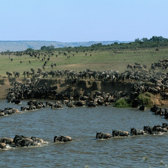 An annual migration of wildebeest is the Maasai Mara's greatest phenomenon.