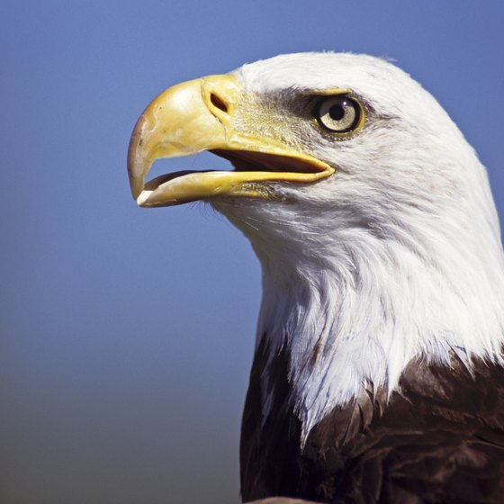 Bald eagles can be found along the Potomac River near Dahlgren, Virginia.