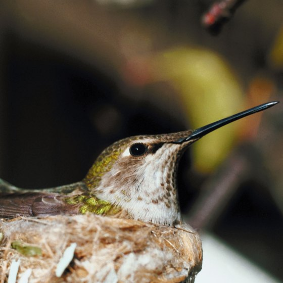 Hummingbird nests are typically the size of a sewing thimble.