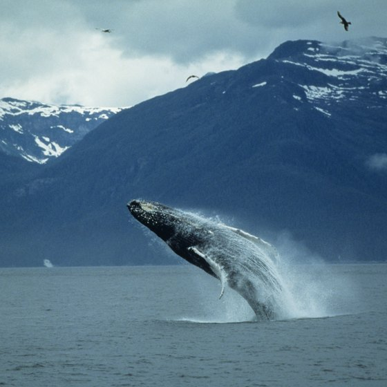 Once you spot a gray whale, look for calves swimming alongside.
