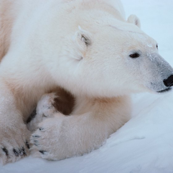 Polar bears outnumber humans on Svalbard and make treks and hiking dangerous.