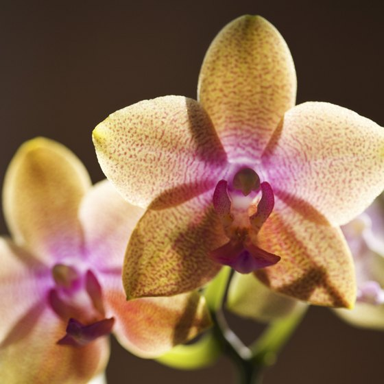 The Philippines is home to a number of endemic species of orchids.
