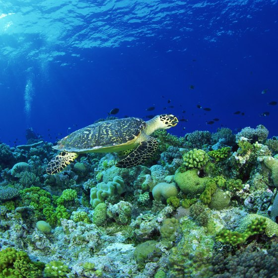 The hawksbill turtle is one of many species of wildlife you may see at Dry Tortugas National Park.