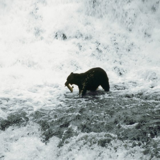 Sportsmen and brown bear compete for salmon in Alaska.