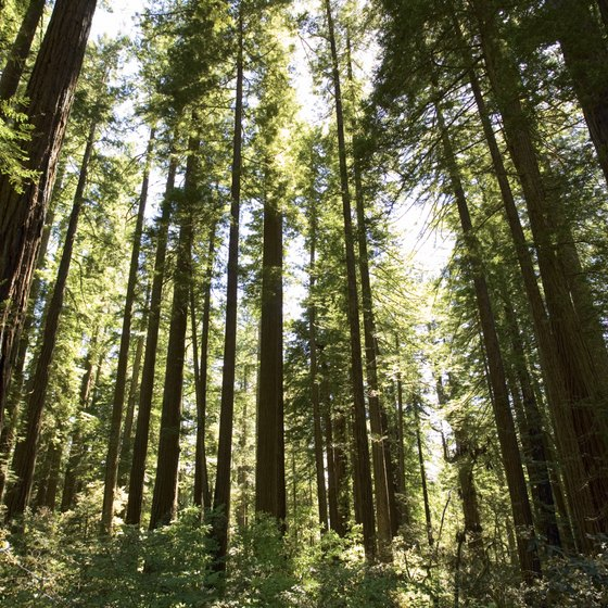 Coastal redwoods mix with fern ground cover throughout the forested areas of the park.