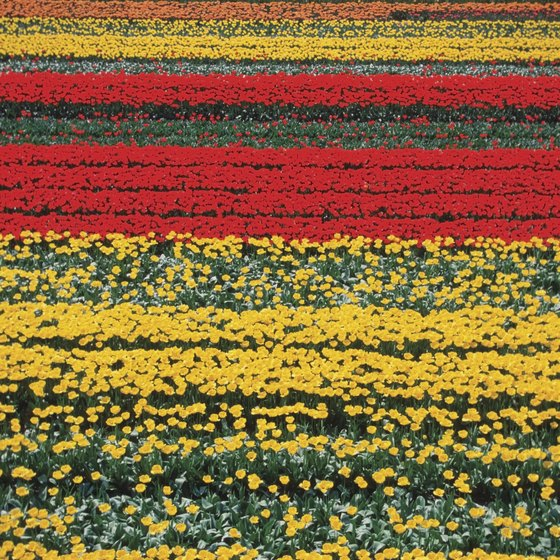 The world's largest tulip garden, Keukenhof, is located in Lisse, Netherlands.