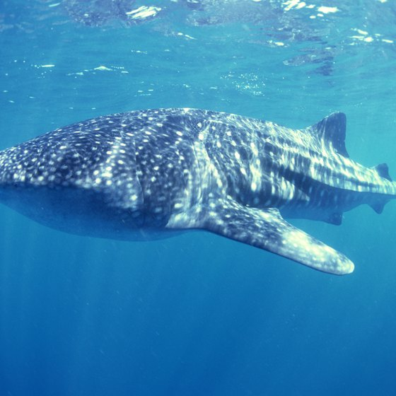 At the right time of year, Honduras sees migrating whale sharks.