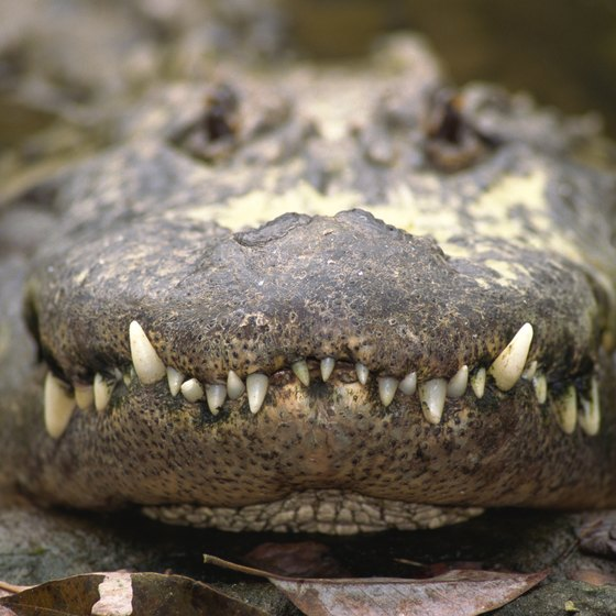 The Animals Native To Port Arthur And Its Surrounding Areas Include American Alligator