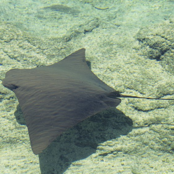 A ray gliding along the sea bottom in the Bahamas.