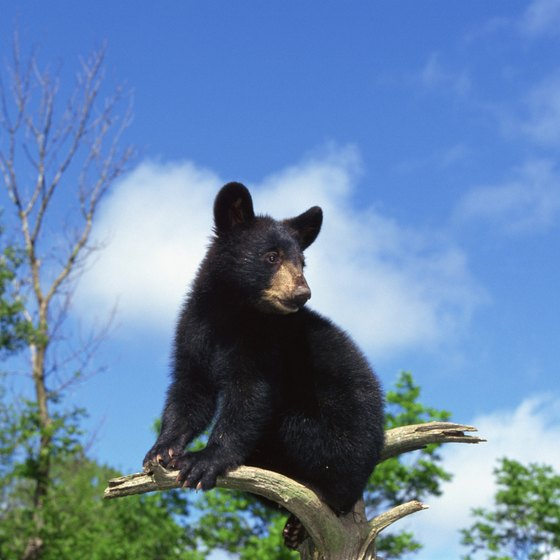 Black bears are common at Mount Mitchell.
