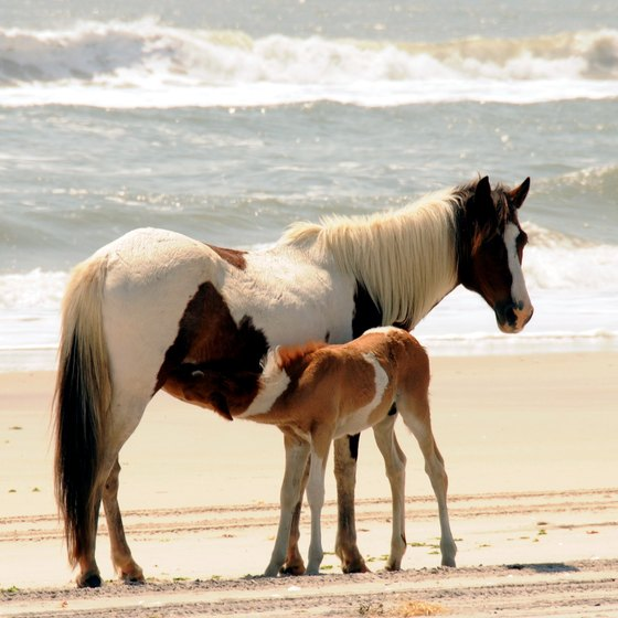 Assateague Island is famous for its wild horses.