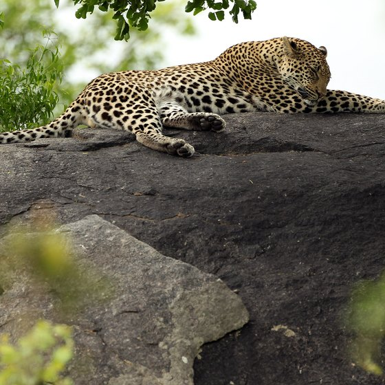 A leopard relaxes on a rock at Kruger National Park in South Africa.