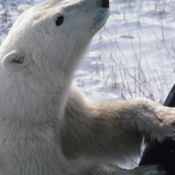 Polar bears are as curious about us as we are about them.