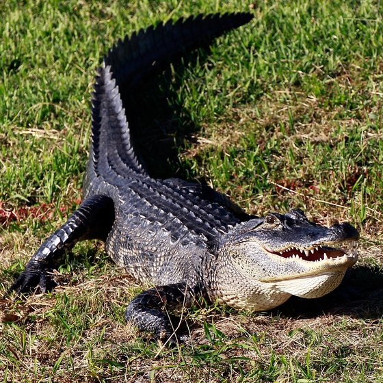Catch a glimpse of alligators at the Oatland Island Wildlife Center.