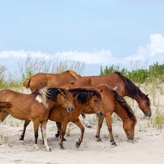 Beaches With Wild Horses In Maryland